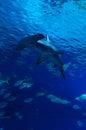 Hammerhead shark in vertical view between the fish herd Royalty Free Stock Photos
