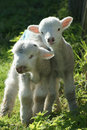 Hampshire spring lambs two young baby keeping each other company on a morning Royalty Free Stock Photos