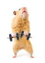 Hamster bar isolated white Royalty Free Stock Photo
