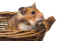 Hamster in a basket little Royalty Free Stock Photo