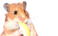 Hamster bites an apple on a white background Stock Photos