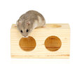 Hamster dwarf winter white sat on wooden block Stock Photos