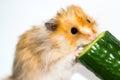 Hamster (Cricetus) eating cucumber Royalty Free Stock Photo