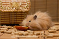 Hamster eats an apple syrian furry eating Royalty Free Stock Image