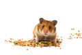Hamster feed the hamster and food for rodents isolated Stock Image