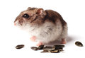 Hamster with grain on white background Royalty Free Stock Photo