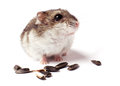 Hamster with grain on white Royalty Free Stock Photo
