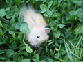 Hamster on the green grass Royalty Free Stock Image