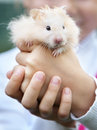 Hamster in the hands of a child Stock Photography
