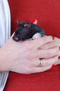 Hamster in hands portrait women s Royalty Free Stock Photos