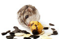 Hamster holding a old banana Royalty Free Stock Photo
