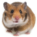 Hamster a isolated on a white background Stock Images