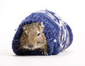 Hamster in mitten snout front view on white Royalty Free Stock Images