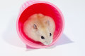 Hamster no copo do rosa Fotografia de Stock Royalty Free