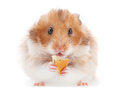 Hamster pet eating cookie on white Stock Image