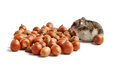 Hamster sits surrounded by acorns on white background Royalty Free Stock Images