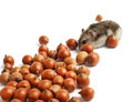 Hamster sits surrounded by acorns on white background Royalty Free Stock Photo