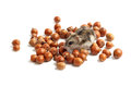 Hamster sits surrounded by acorns on white background Stock Image