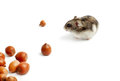 Hamster sits surrounded by acorns on white background Stock Images