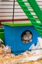 Hamster in small blue home Stock Images