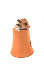 Hamster syrian hamster in clay pot on white background Stock Images