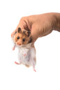 Hamster syrian hamster in hand on white background Royalty Free Stock Photo