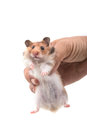 Hamster syrian hamster in hand on white background Stock Photography