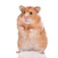 Stock Photo Hamster on white