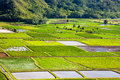 Hanalei valley details taro fields in kauai Royalty Free Stock Images