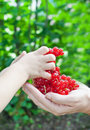 Hand of adult and of child holding red currants Stock Photo