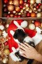 Hand caressing cute kitty at box with red and gold baubles, ornaments and santa hat under christmas tree in festive room. Merry C Royalty Free Stock Photo