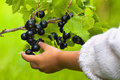 Hand of child picking berries of black currant Royalty Free Stock Photo