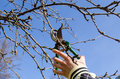 Hand cut fruit tree twig clipper spring garden Royalty Free Stock Photo