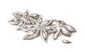 Hand drawn anise illustration of star Stock Image