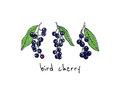 Hand drawn bird cherry twigs