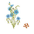 hand drawn botanical illustration of flax plant