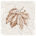 Hand drawn branch with cocoa beans Royalty Free Stock Photography