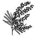 Hand-drawn branch of mimosa. Black silhouette on white background