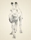 Hand drawn camel sketch of bactrian on white background Royalty Free Stock Photography