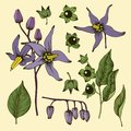 Hand drawn deadly nightshade flower set Royalty Free Stock Photo