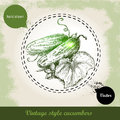 Hand drawn fresh whole cucumbers with leaf and flower. Vintage sketch style organic eco vegetable