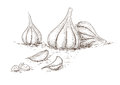 Hand drawn garlic illustration of Royalty Free Stock Images