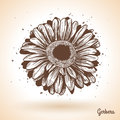 Hand drawn gerbera flower. Royalty Free Stock Photo