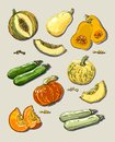 Hand drawn illustration of pumpkin and zucchini. Royalty Free Stock Photo