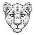 Hand drawn portrait of Lioness. Vector illustration isolated on white Royalty Free Stock Photo