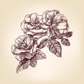 Hand drawn roses Stock Images