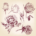 Hand drawn roses set vector llustration realistic sketch Stock Photography