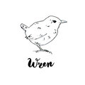 Hand drawn set of graphic isolated bird wren on white background