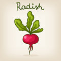 Hand drawn shiny radish cute Stock Photos