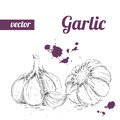 Hand drawn sketch style garlic. Vintage eco food vector illustration. Ripe garlic. Royalty Free Stock Photo